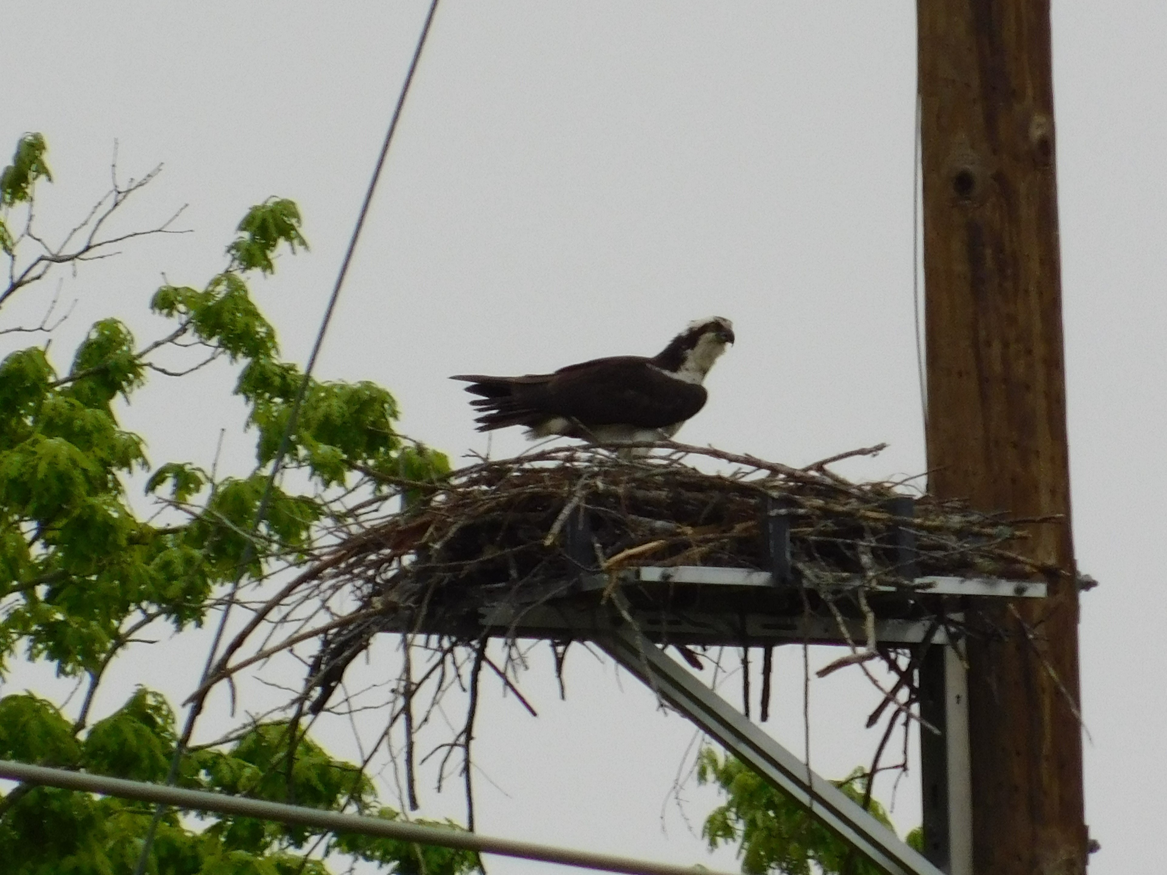Osprey nesting on platform - wildlife protection for utilities